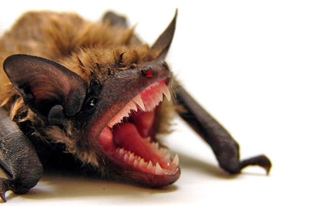"Vampiric animals in the animal kingdom, ""Natural Born Killers: Vampire Critters We Think You Should Meet"""